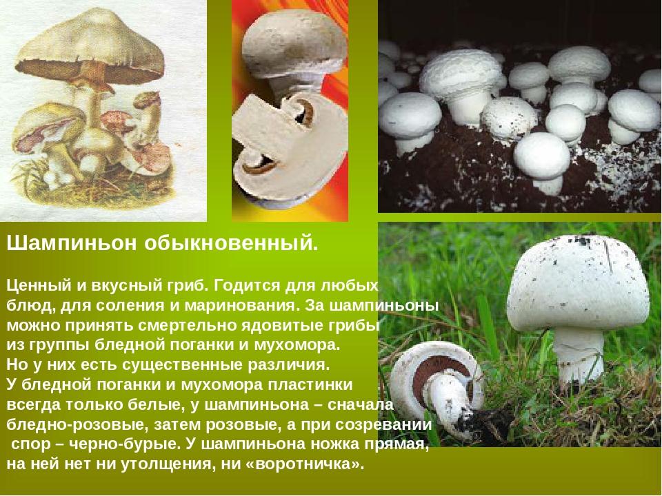 Цезарский гриб (царский гриб) - съедобные грибы   описание, фото и видео