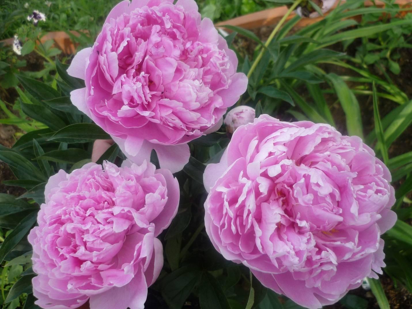 Описание уайт и ред – молочноцветковых травянистых сортов пионов сара бернар