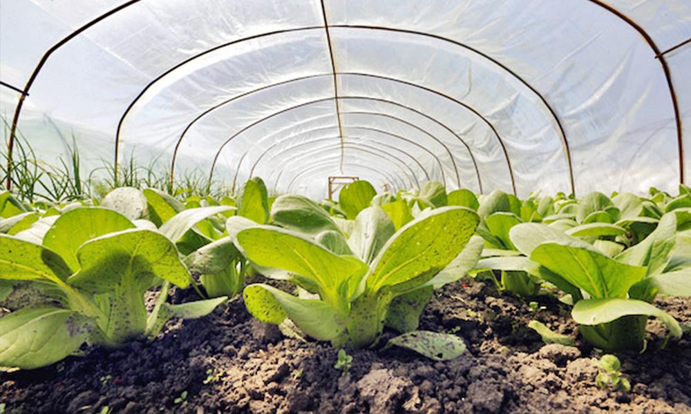 Урожай сочной цветной капусты из семян: легко и быстро!