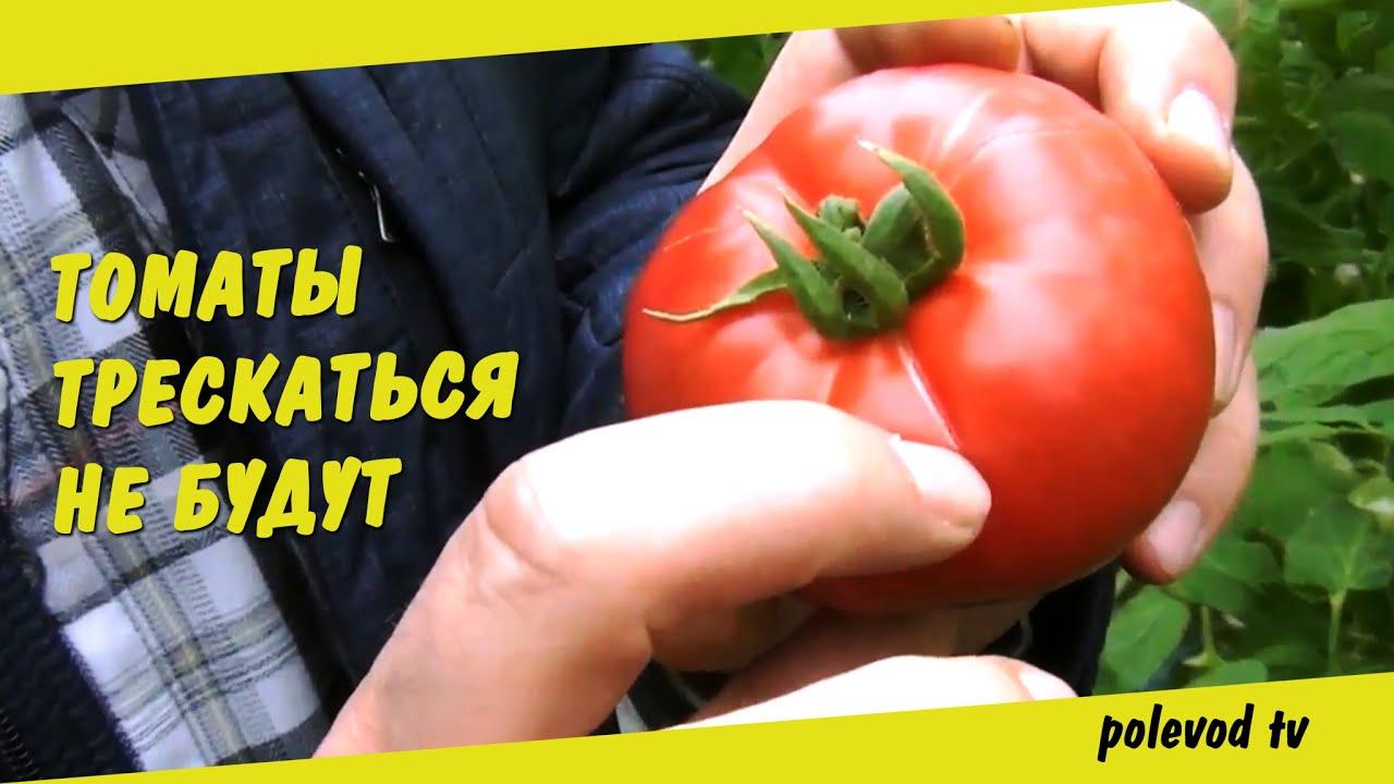 Почему трескаются помидоры в теплице при созревании?