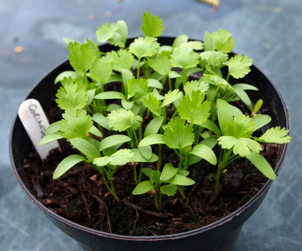 Выращивание петрушки в открытом грунте | вырасти сад!