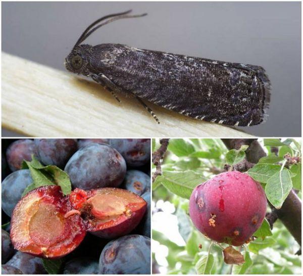 Яблоневый цветоед атакует: проснулся самый опасный враг яблонь и груш | белорусский партизан