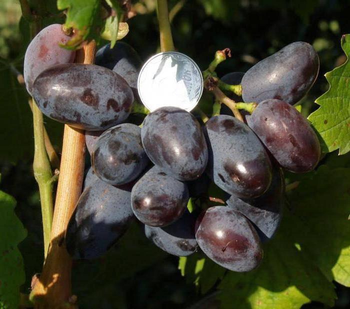 Виноград байконур - описание сорта, фото, отзывы