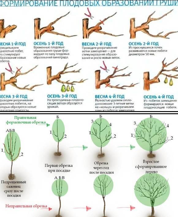 Когда обрезать грецкий орех. обрезка грецкого ореха – весной или летом? как укорачивать ветки молодых деревьев