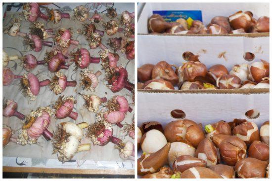 Надо ли обрезать корни у луковиц гладиолусов при подготовке к хранению?