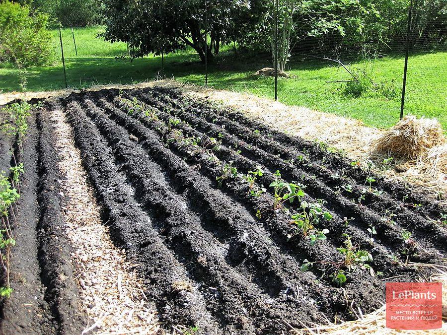 Выращивание клубники в открытом грунте, необычные агротехнологии.