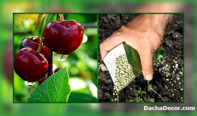 Легко ли вырастить черешню: основные правила агротехники