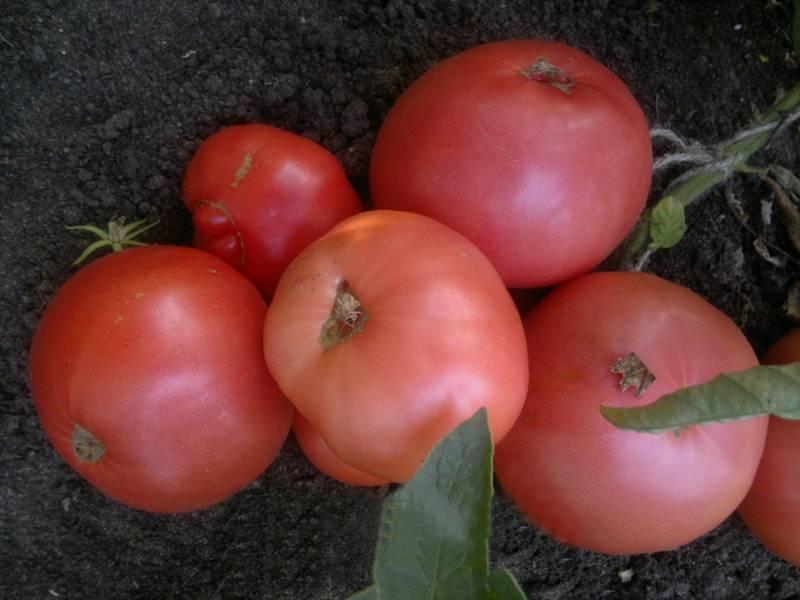Томат дикая роза - описание сорта, характеристика, урожайность, отзывы, фото