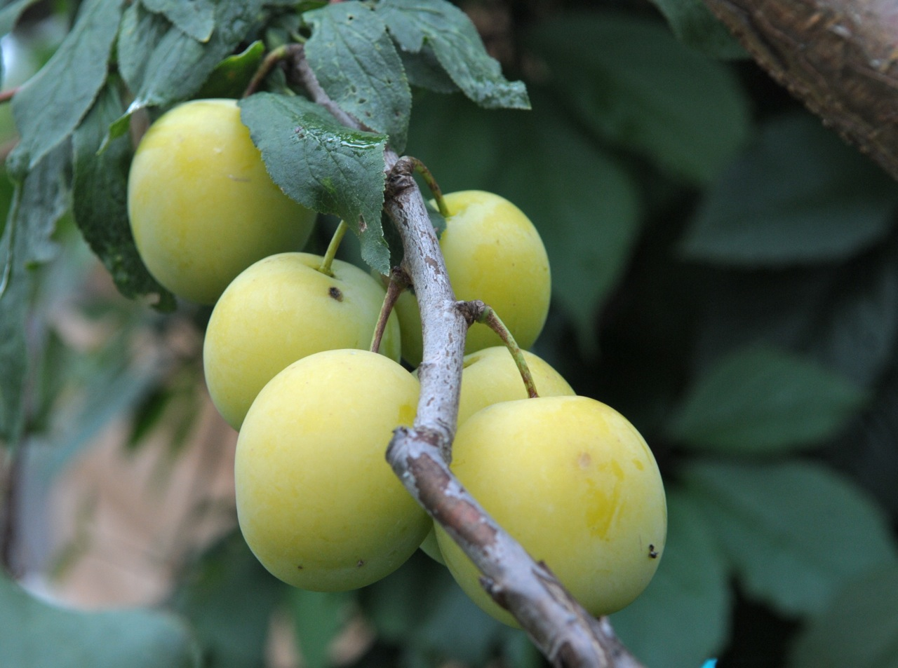 Дерево алыча (слива): фото, названия, описание, уход весной, вредители и болезни алычи