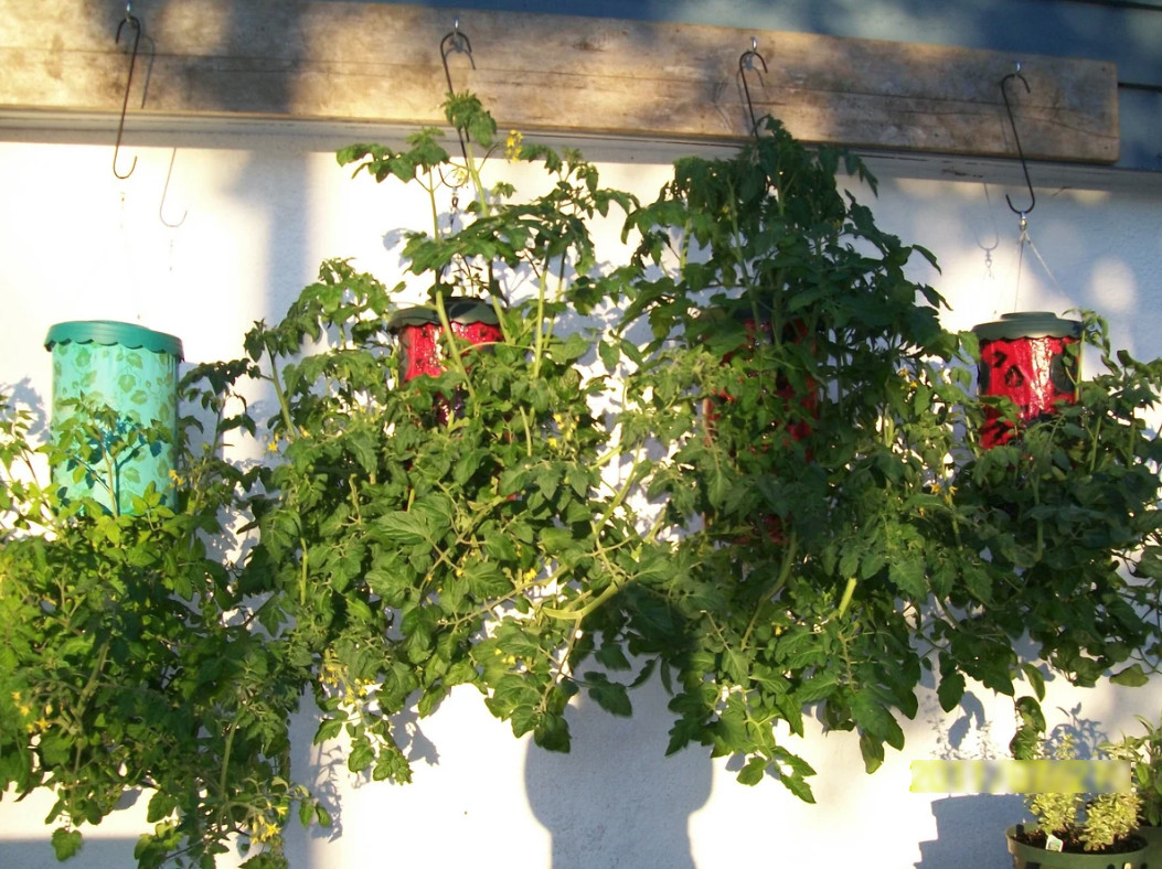 Помидоры вверх ногами: выращивание растений в перевернутом виде, плюсы и минусы такого способа