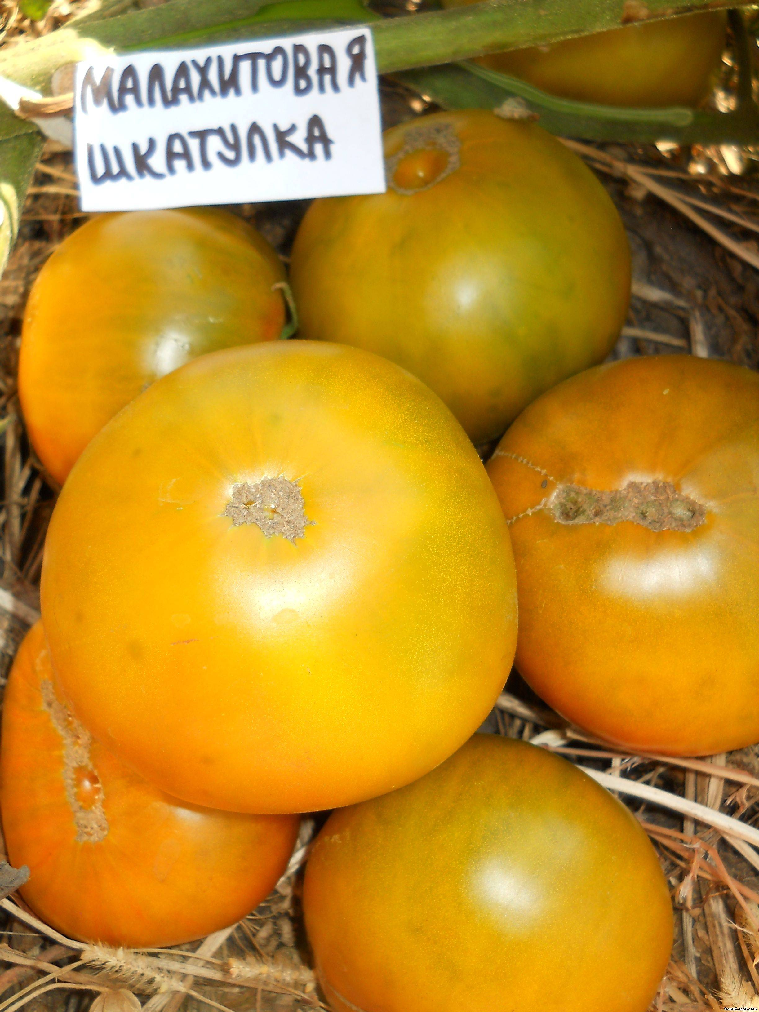 Сорт помидоров малахитовая шкатулка характеристика плюсы и минусы