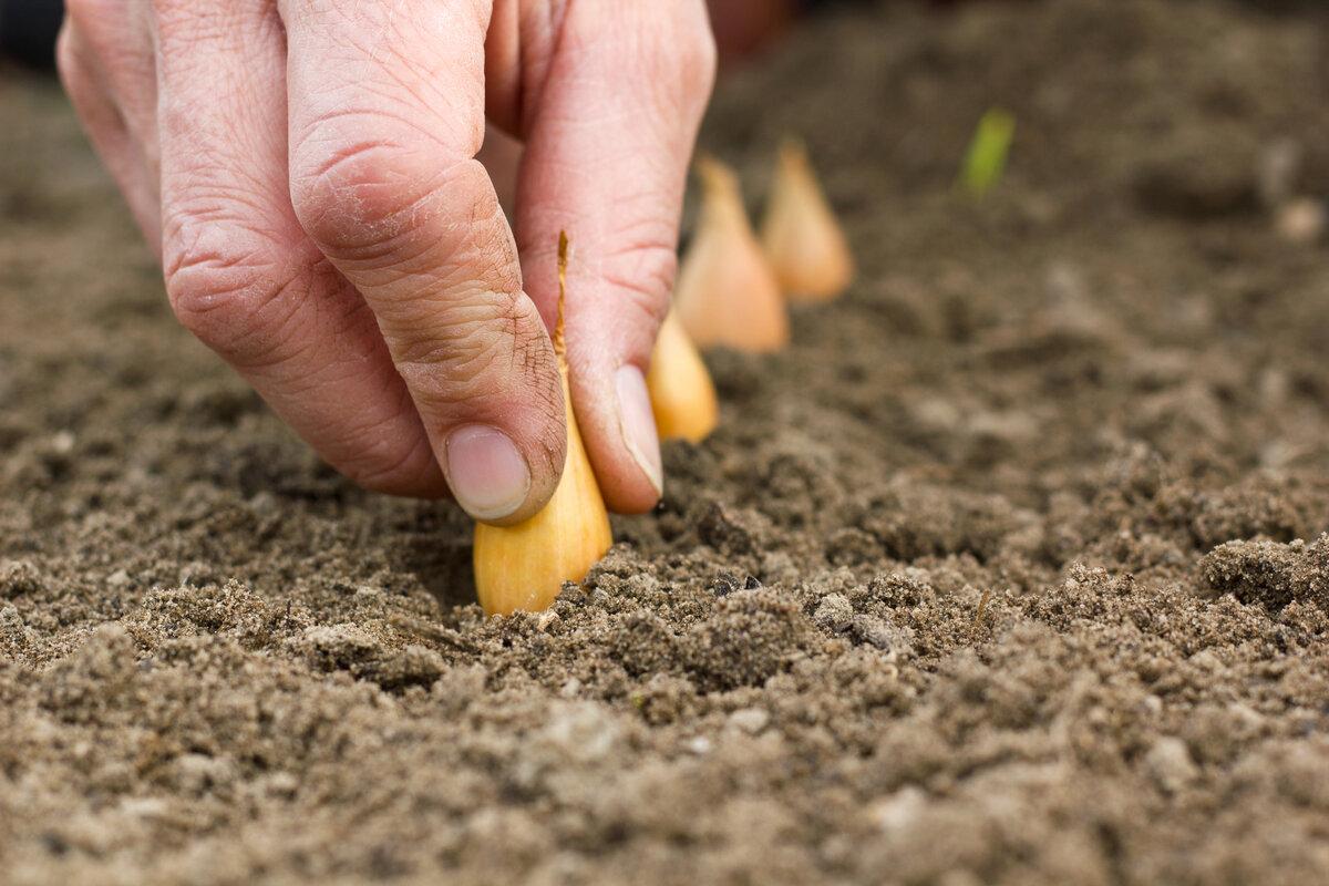 Правила подготовки чеснока к посадке весной, как правильно замочить и подготовить чеснок к посадке