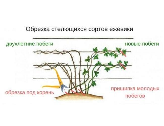 Размножение ежевики, как правильно это сделать , а также описание основных способов