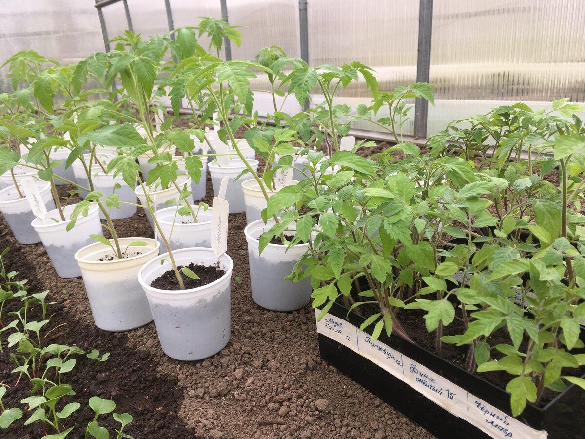 Можно ли выращивать рассаду помидор без пикировки, как посадить