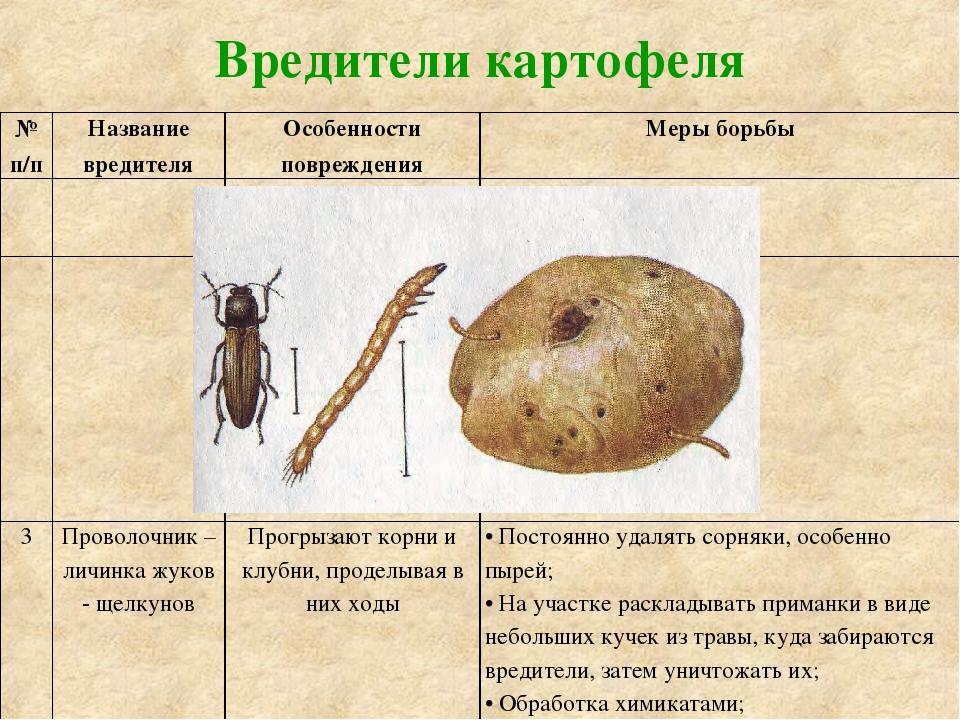 Основные вредители картофеля: их описание и лечение различными средствами