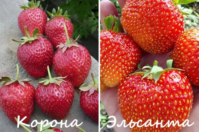 Клубника вима рина: описание сорта с характеристикой и отзывами, особенности посадки и выращивания, фото
