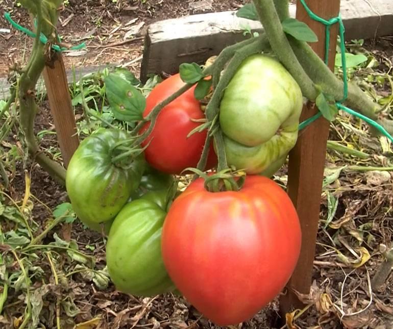 Томат «мазарини»: характеристика и описание сорта, отзывы садоводов