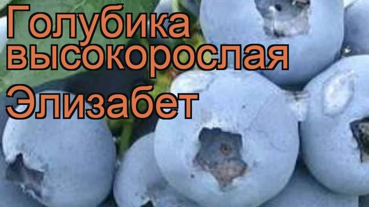 Голубика элизабет: описание сорта, характеристики. посадка голубики