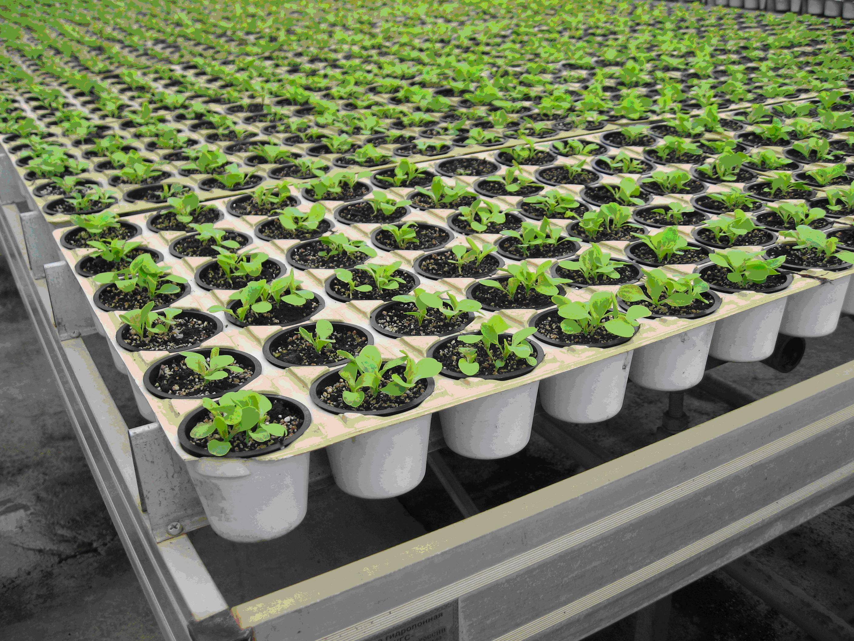 Выращивание салата: способы и особенности агротехники