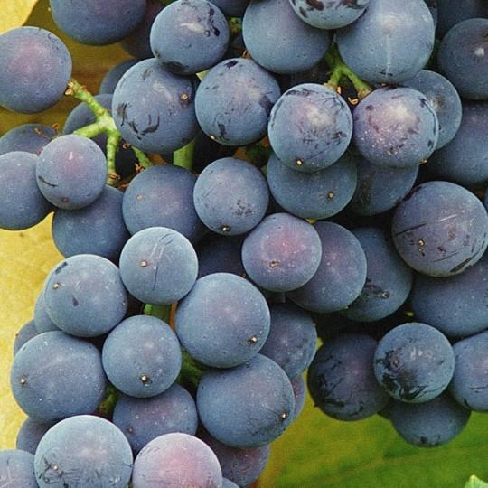 Виноград кардинал: описание сорта, посадка, уход