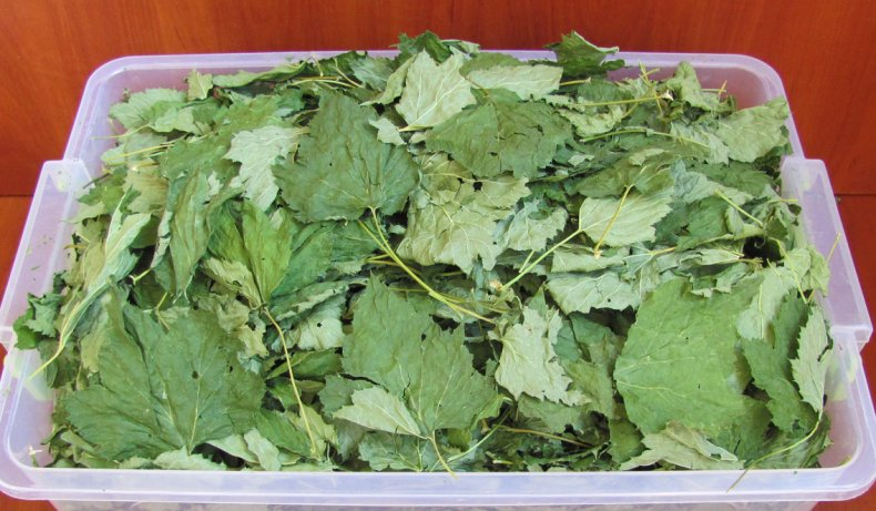 Когда собирать листья малины и смородины для сушки на зиму и как их правильно сушить