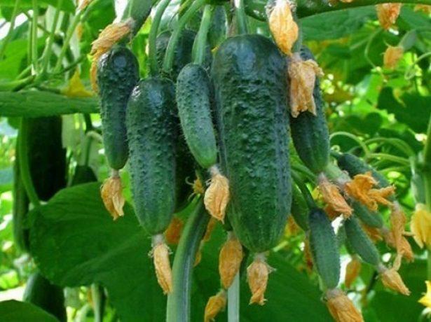 Обзор популярных самоопыляемых пучковых сортов огурцов для выращивания в теплицах