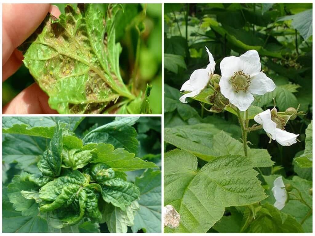 Обработка малины весной от вредителей и болезней