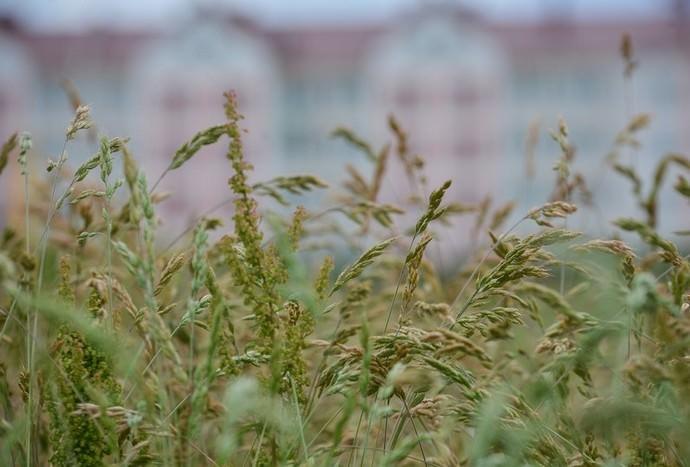 Овсяница для газона (15 фото): красная и луговая, тростниковая и другая газонная трава, ее описание, плюсы и минусы, отзывы
