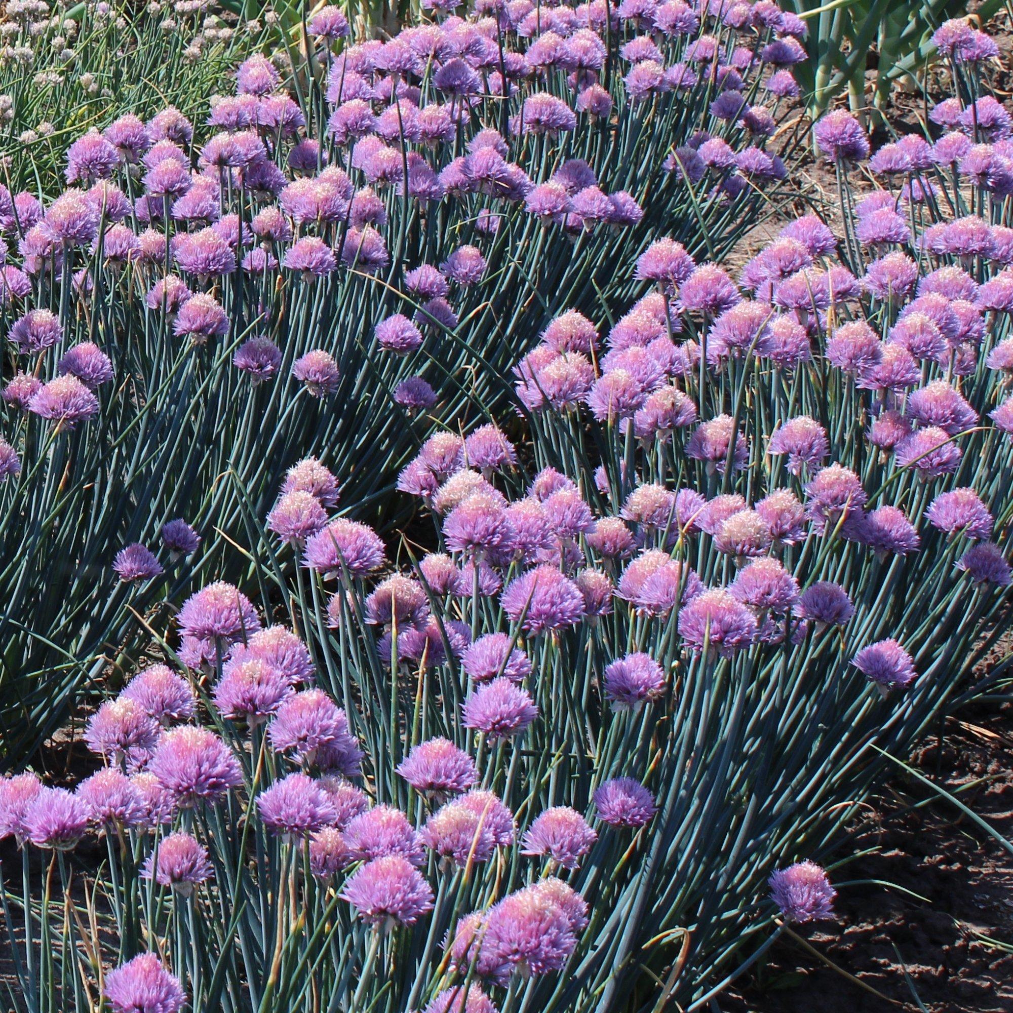 Семейный лук: сорта, фото с описанием и характеристиками, особенности выращивания