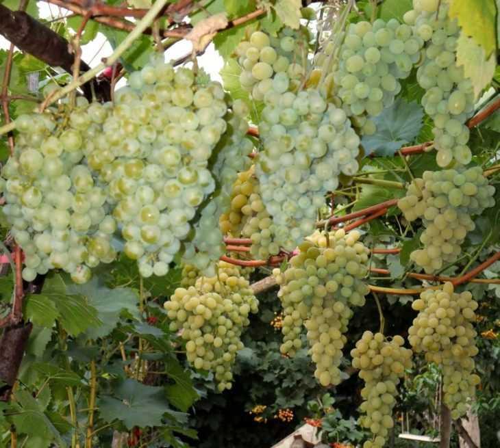 Виноград мускат: описание сортов, фото, выращивание и уход