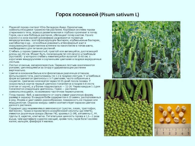 Описание сортов фиолетового гороха, особенности выращивания и применение