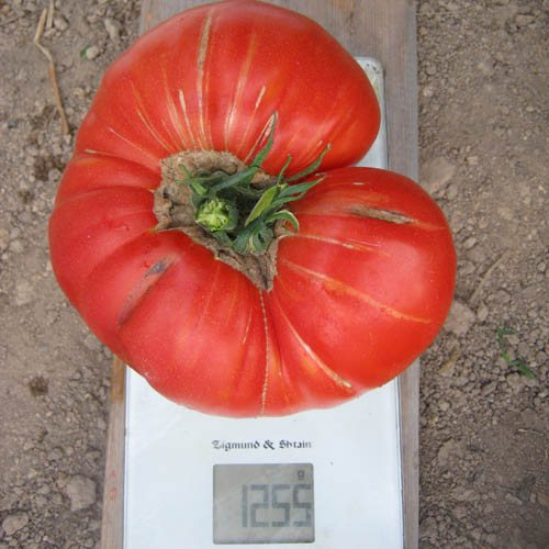 Томат кинг-конг: описание и характеристика сорта, отзывы садоводов с фото