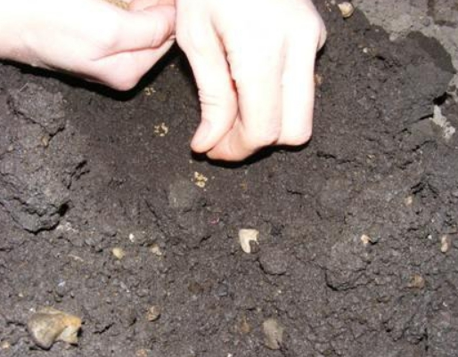 Посадка свеклы в открытый грунт весной и уход за ней