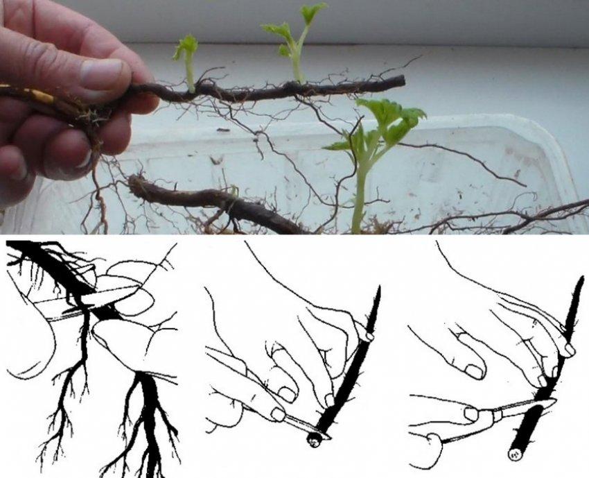 Ежевика: посадка, уход и выращивание ежевики с видео, способы размножения и обрезки ежевики