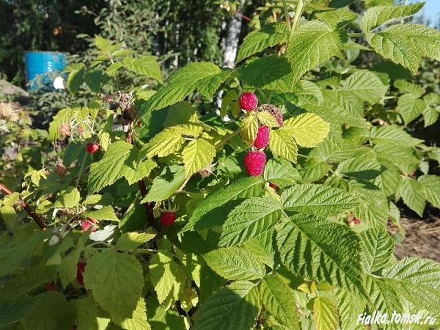 Малина: как ухаживать весной, летом и осенью