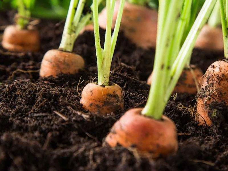 Почему не всходит картофель: почему всходит неравномерно, правильный уход