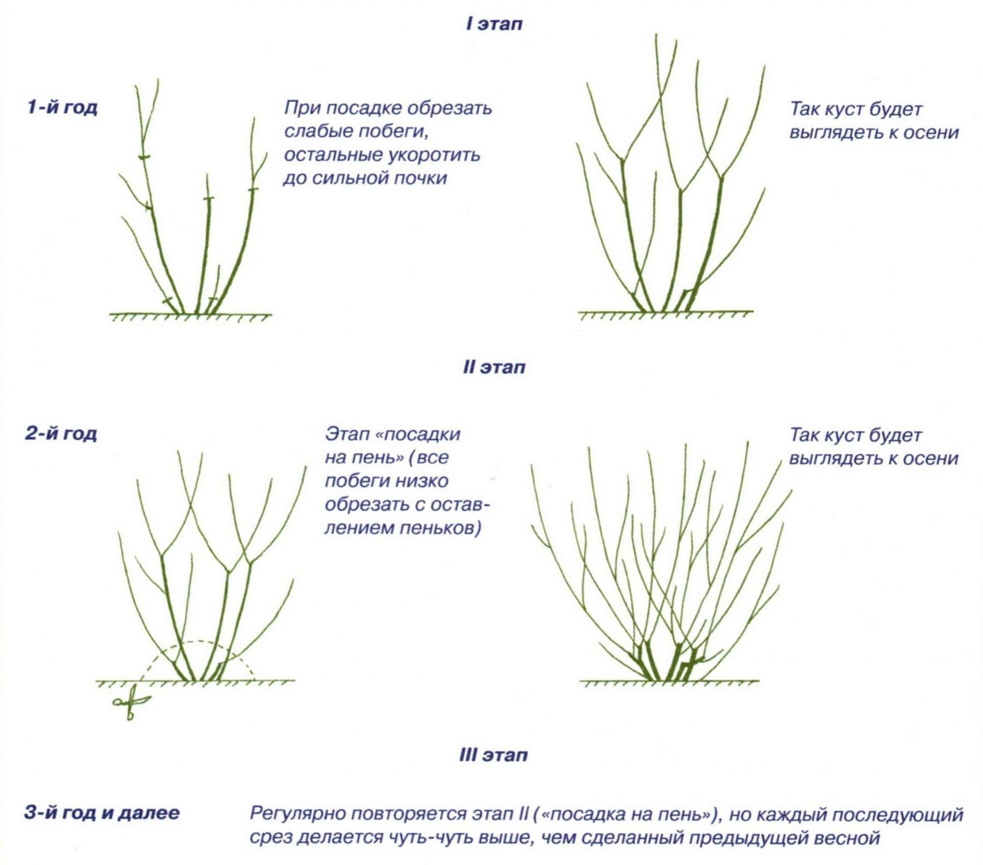 Обрезка чубушника: виды и схемы