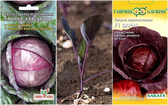 Краснокочанная капуста, сорта, посадка и уход в открытом грунте, совместные посадки