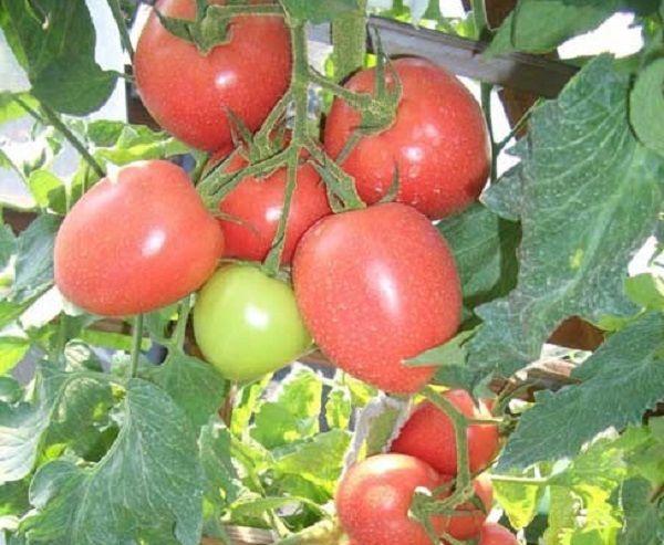 """Томат """"лакомка"""": характеристика и подробное описание сорта помидор с фото, отзывы об урожайности тех, кто сажал и какой процент сахара"""