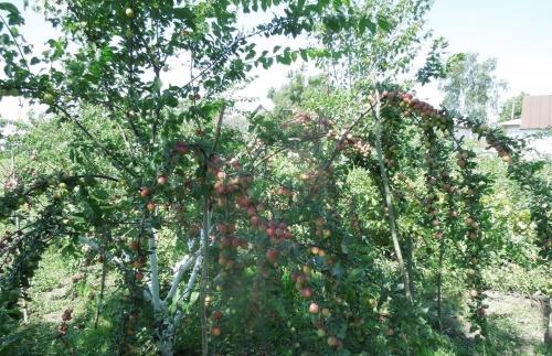Июльская роза алыча описание сорта