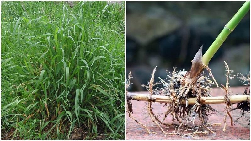 Как вывести пырей с огорода навсегда – три проверенных способа