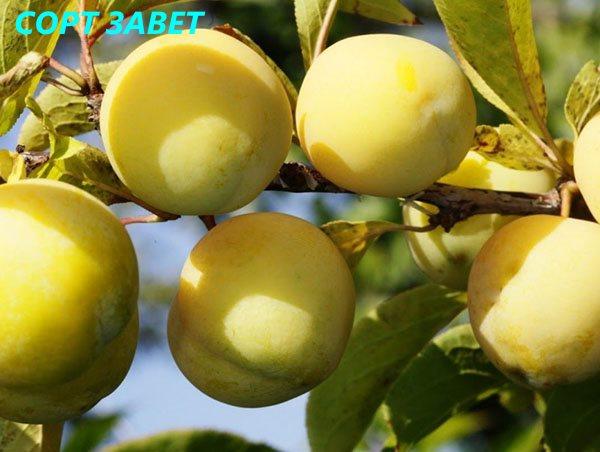 Желтая слива - посадка, выращивание и распространенные проблемы с популярными сортами (115 фото)