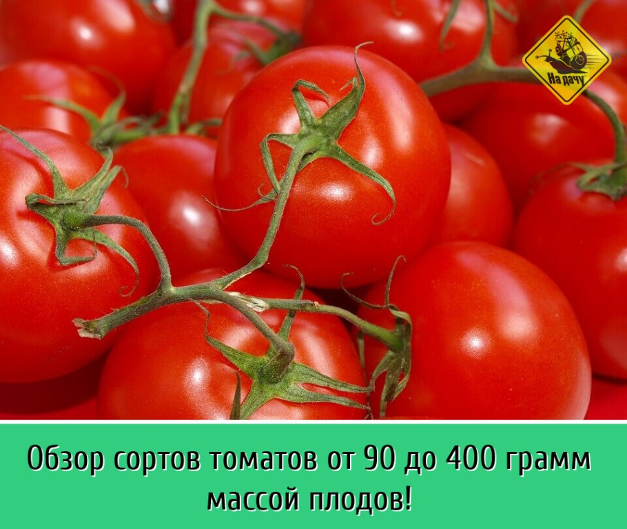 Руководство для начинающих огородников: выращиваем гибридный томат «наша маша f1»