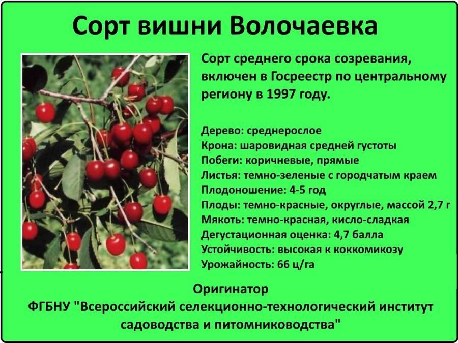 Вишня тургеневская: описание сорта, фото, отзывы, опылители