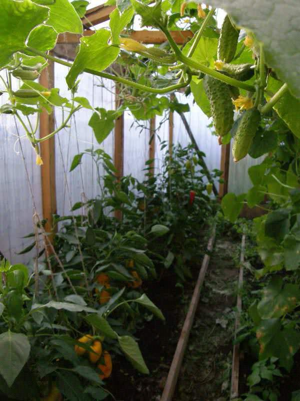 Овощное соседство – помидоры и перец в одной теплице