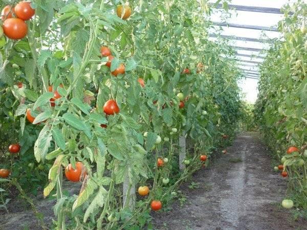 Томат президент — характеристика и описание сорта, фото куста, урожайность, отзывы, похожие гибриды