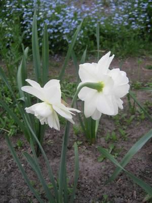 Растение нарцисс: фото, виды, выращивание, посадка и уход в открытом грунте