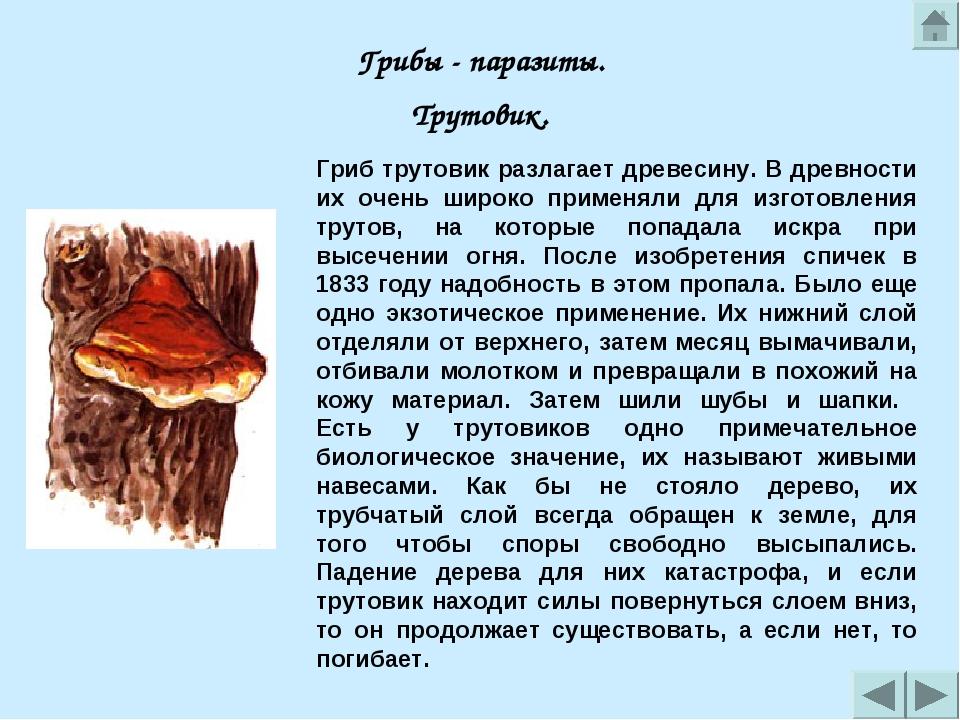 Лечебные грибы трутовики: фото, виды, полезные и лекарственные свойства, лечение грибом трутовиком в медицине