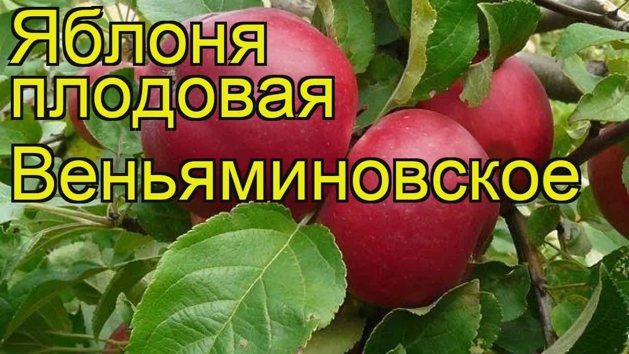 Яблоня веньяминовское: описание сорта, фото, отзывы, опылители, посадка