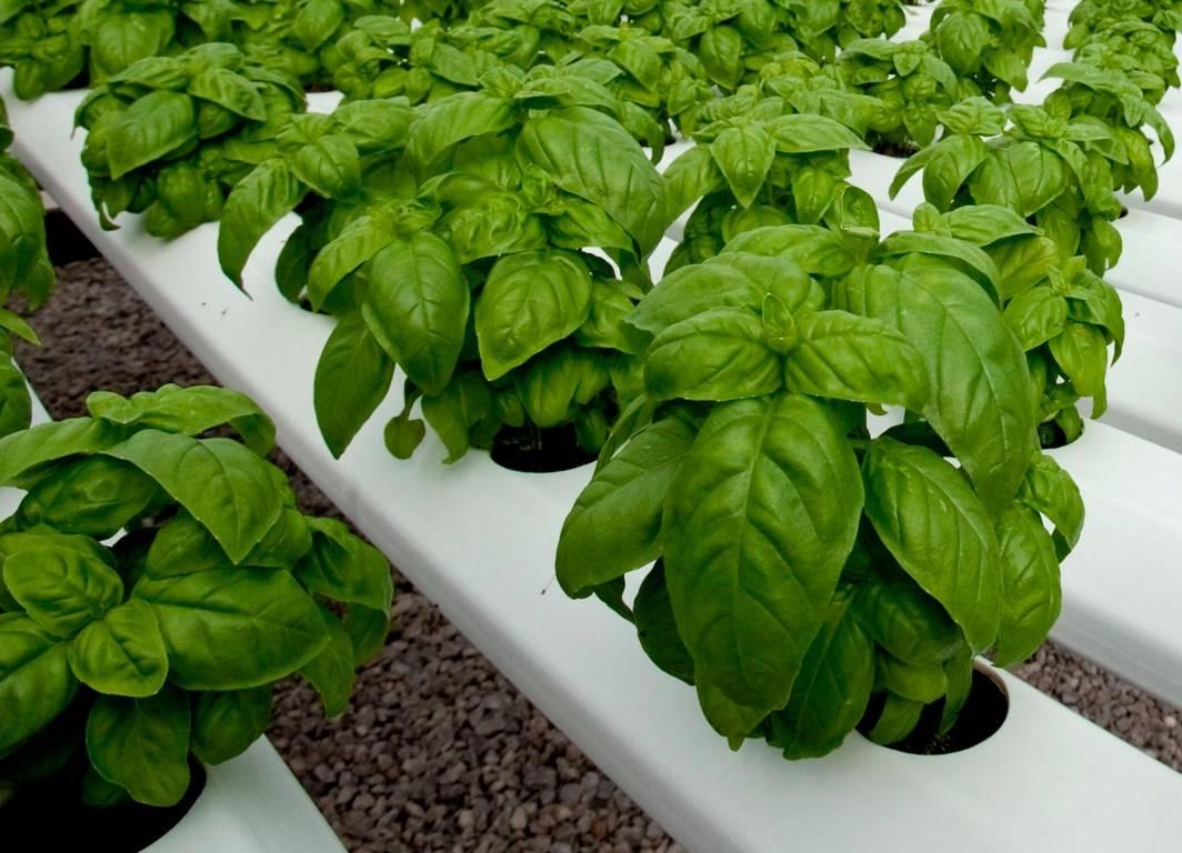 Базилик: выращивание из семян и посадка в грунт